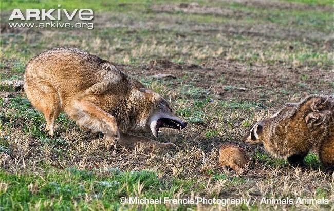 american mammals Coyote