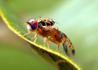 Zmofyfikowana genetycznie mucha