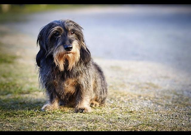 Are Weiner dogs high maintenance?