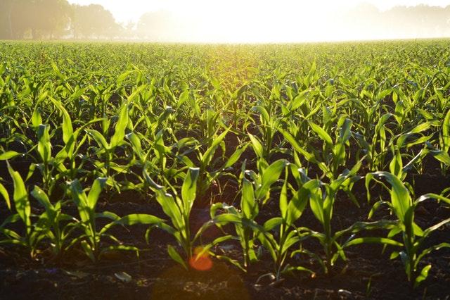 El fertilizante inicial puede aumentar los rendimientos de Maíz de 500 a 790 Kg por Hectárea