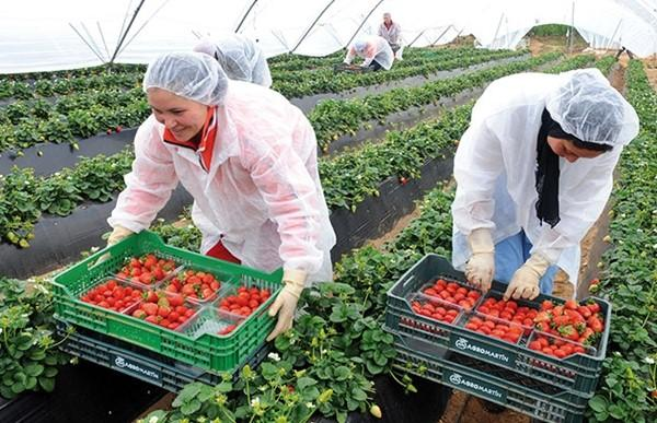 عاملات الفراولة يخضعن للتحاليل استعداد للعودة لأرض الوطن