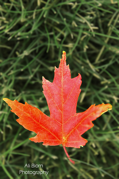 single red autumn fall leaf in green grass