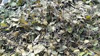 daun rama-rama ,mariposa chritia vespertilloris