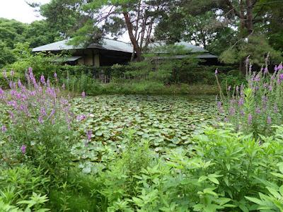 花博記念公園鶴見緑地 日本庭園 睡蓮池 ミソハギ
