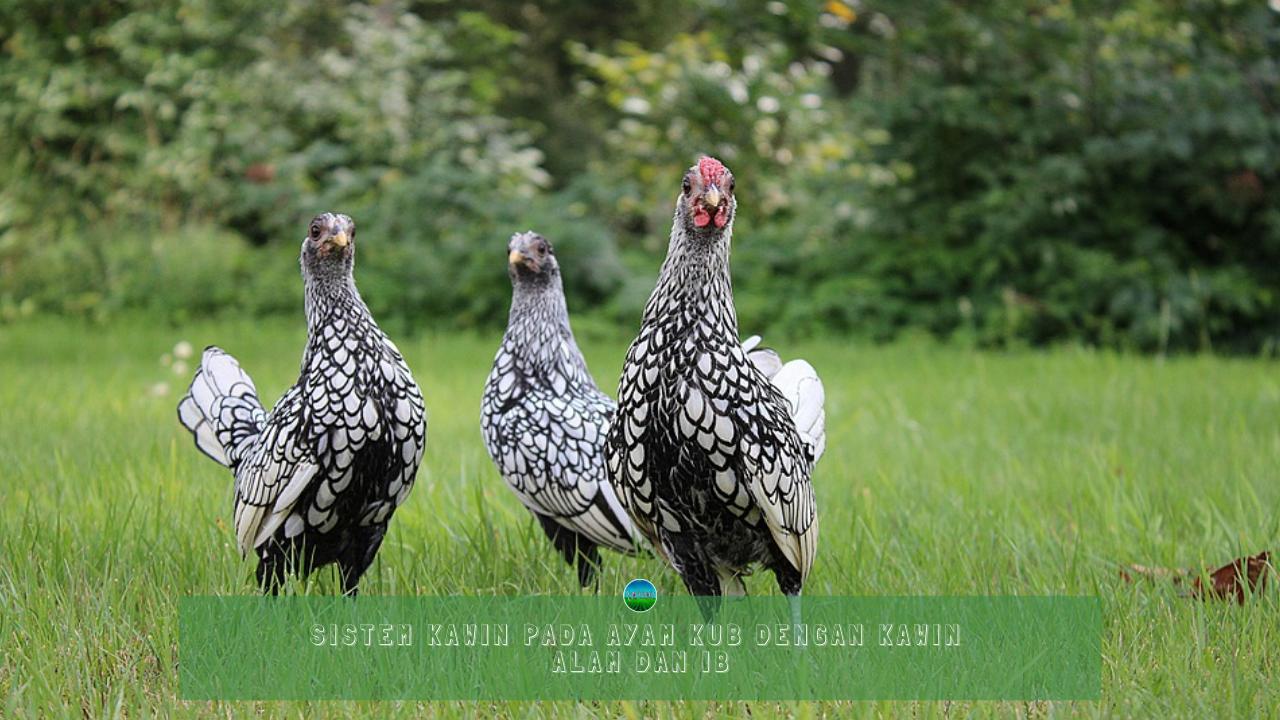 Sistem Kawin Pada Ayam KUB Dengan Kawin Alam dan IB