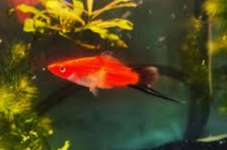 Swordtail
