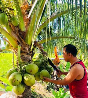 Bibit tanaman unggul – Pohon kelapa kopyor sudah mulai banyak kita jumpai di Indonesia. Beberpa pekarangnan rumah warga di desa-desa di pulau Jawa dan Sumatera telah terdapat pohon kelapa. Nah, Tahukan, kalau varietas kelapa kopyor yang tersebar di seluruh negeri ini ada berapa? Jawabnya ada 2, yaitu kelapa kopyor tipe dalam dan kelapa kopyor varietas genjah.