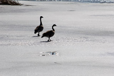 March: Canada geese on ice
