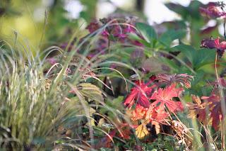 géranium expresso couleurs automne