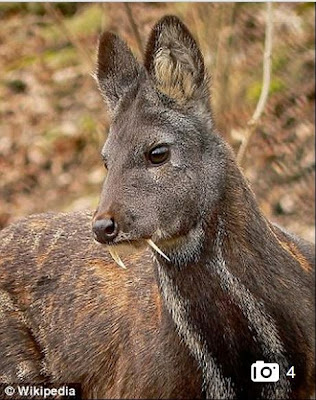 Cervo almiscarado, cervo,  Moschus cupreus,  Moschus, cupreus,  Afeganistão, índia e Paquistão,  forests of Afghanistan,  Afghanistan,  muskdeer, extintion, extinção, extincao, animais, espécies em extinção,  Kashmir Muskdeer, Kashmir Musk deer,  Endangered,  International Union for Conservation of Nature, Conservation of Nature,  International Union, Conservation, Nature, encontrado cervo almiscarado