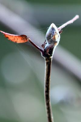 syyspihlaja