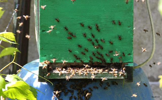 L'essaim d'abeilles est dans la ruche