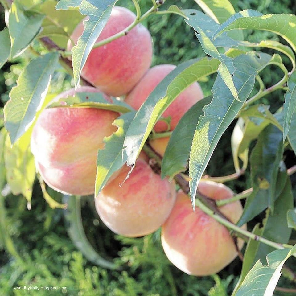 brzoskwinia, drzewko brzoswini, owocowe drzewko, drzewko na działke