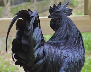 Ayam Cemani: Rp 30 juta/ekor