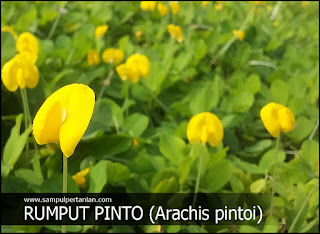 Rumput Pinto (Arachis pintoi), Pengendali Gulma yang Indah