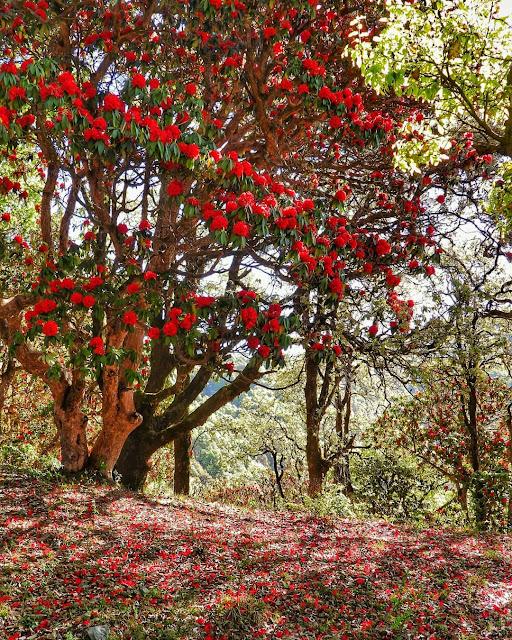 Rhododendron Flowers Uttarakhand