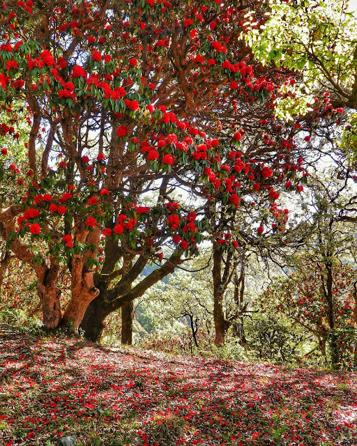 Rhododendron Flowers near Pangot