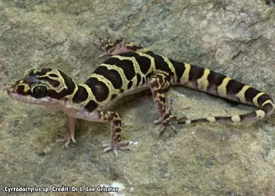 15 Spesies Baru Tokek Telah Ditemukan di Myanmar