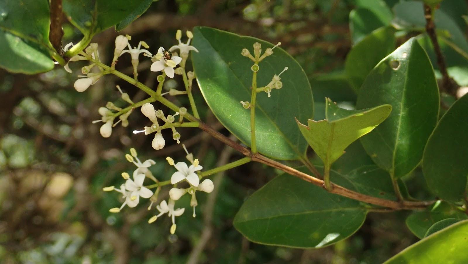 香港野外植物: 2019-06-07 新界中