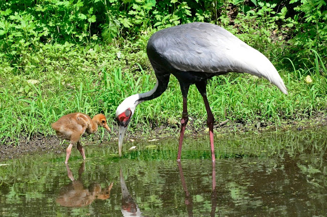 Breeding populations of white-naped cranes on decline in Eastern Mongolian stronghold