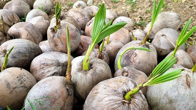Coconut fruit philippines facts