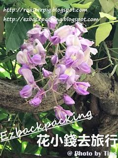 津島天王川公園紫藤