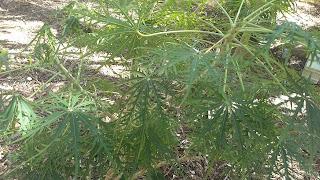 Jatropha multifida (Coral plant) toxic plant shrub caribbean florida bahamas leaves marijuana