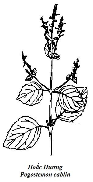 Hình vẽ Hoắc Hương - Pogostemon cablin - Nguyên liệu làm thuốc Chữa Bệnh Tiêu Hóa