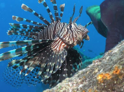 foto ikan lepu lionfish scorpionfish dragonfish