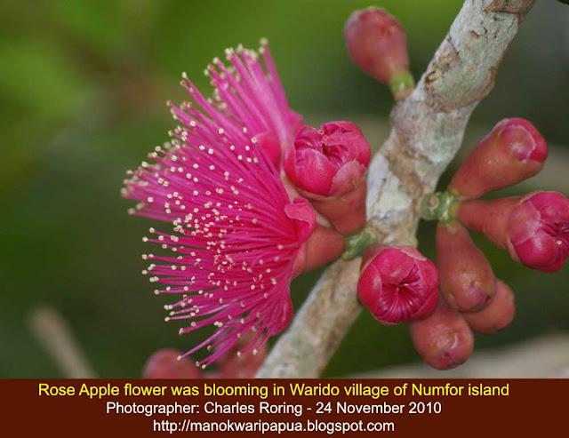 watery rose apple