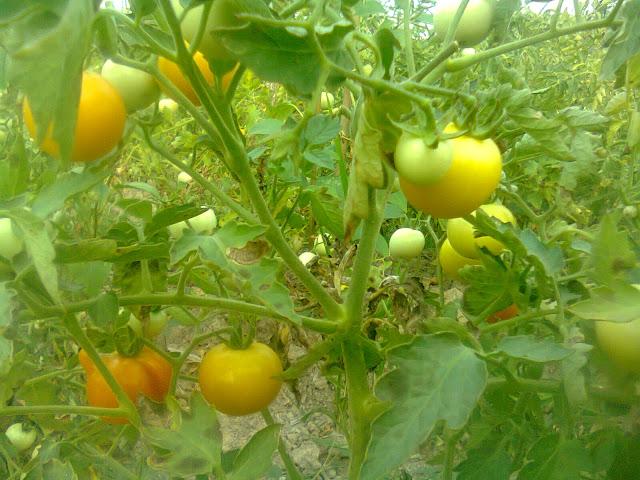 Budidaya Tomat Rampai di Lahan Persawahan