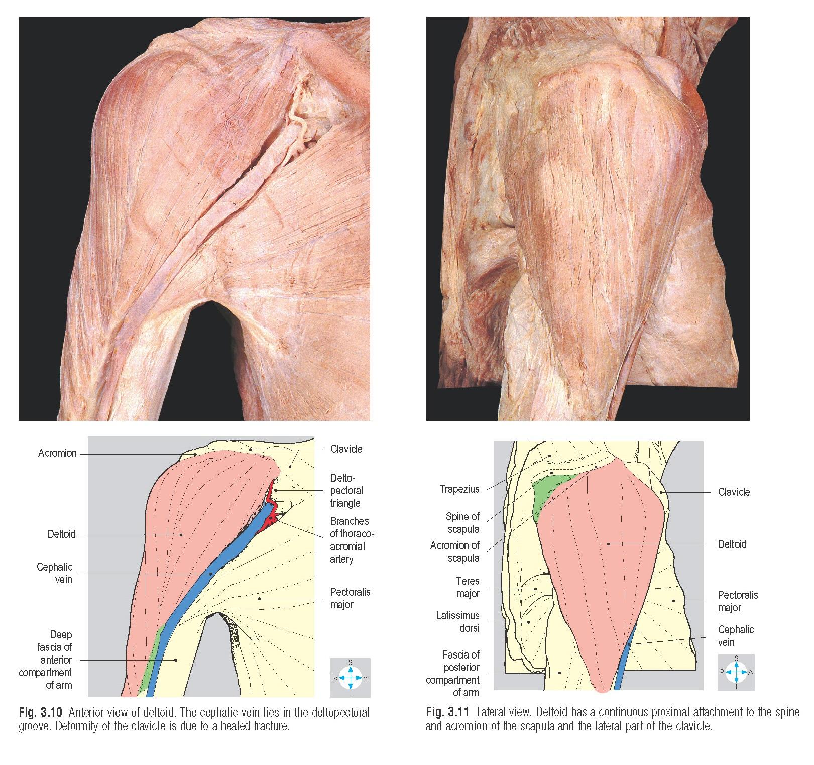 Axillary nerve