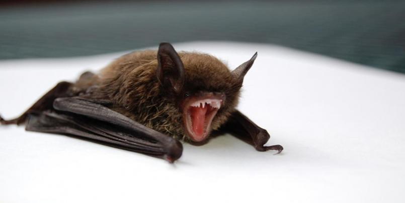 صور الخفاش 2021,فيروس كورونا المستجد نشأ في خفافيش داخل الصين الخفاش بالانجليزية الخفاش بالفرنسية صور الخفافيش صورة الخفاش عن قرب
