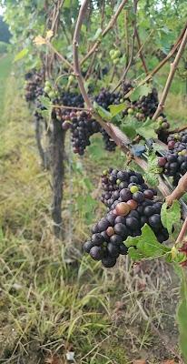 grapes, grapes on vine, winery, ohio wine, debonne winery
