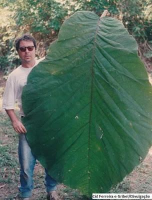 maiores folhas do mundo, Coccoloba gigantifolia, árvores de folhas grandes, plantas com folhas grandes, amazônia, plantas, folhas gigantes, árvores, meio ambiente