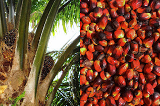 AGRICULTURE OPPORTUNITIES IN BAYELSA STATE Palm Kernel1