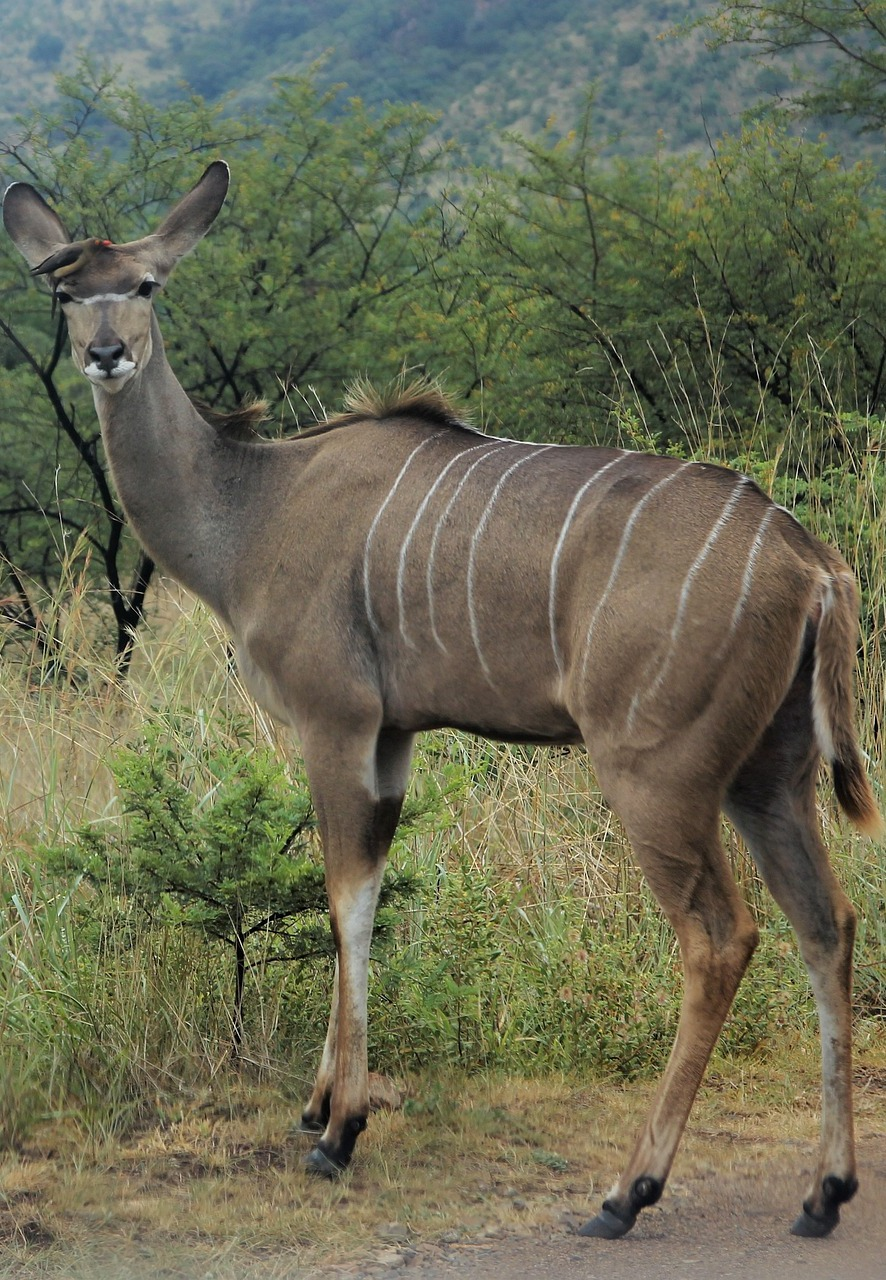 Picture of a female kudu.