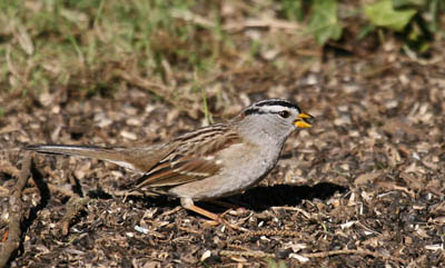 Photo of White-crowned Sparrow feeding on ground