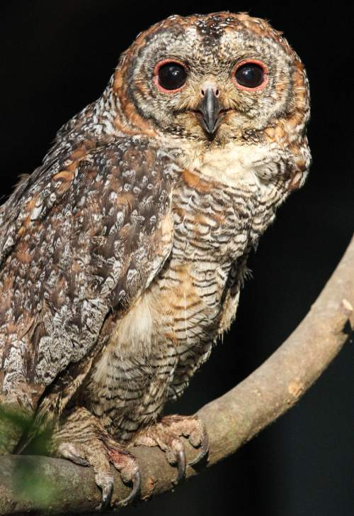 Indian birds - Image of Mottled wood owl - Strix ocellata