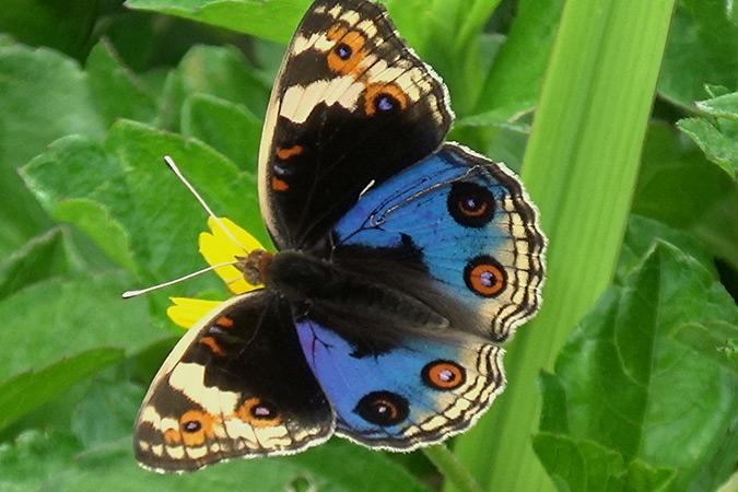 Dlium Blue pansy (Junonia orithya)