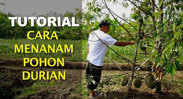 Cara Menanam Durian Yang Benar, Petani Durian Harus Baca Ini!