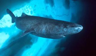 ग्रीनलैंड शार्क(Greenland Shark) 250-500 वर्ष 10 longest-living Animals Facts | 10 सबसे लंबे समय तक जीवित रहने वाले जानवर