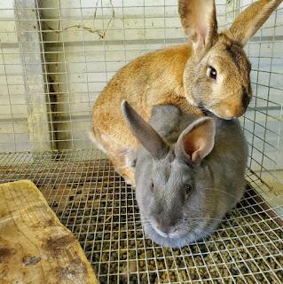 Rabbits mating