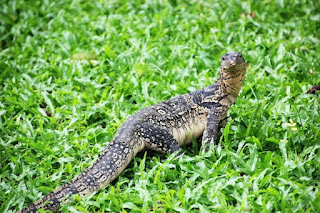 Monitor Lizard Meat : Benefits, Nutrition and Side Effects For Men