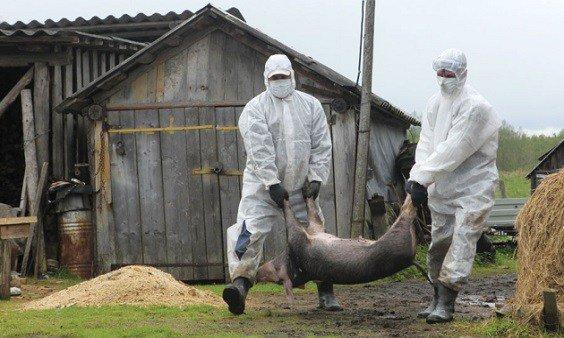 Several pigs killed over Swine fever outbreak in Ghana