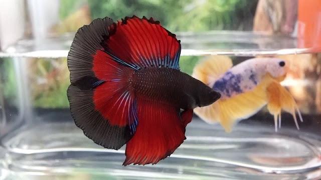 Gambar Ikan Cupang Double Tail