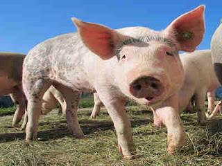 Seekor Babi Pernah Dihukum Gantung Di Perancis Tahun 1386