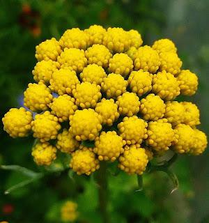 Żółty Krwawnik Wiązówkowaty