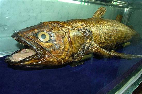 Coelacanth – Νότια Αφρική