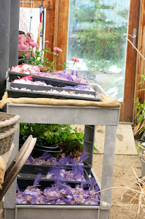 garlic in the greenhouse